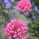 Starburst in Pink..... by supernan
