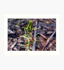 Small Tongue Orchid Art Print
