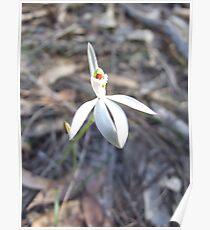 White Caladenia Poster