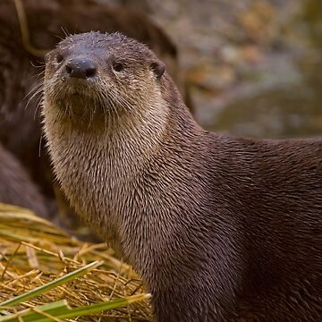 Otter  #3553 by JLWoody15Wooden