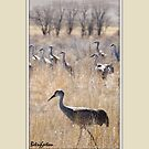 SANDHILL CRANES OF COLORADO by Betsy  Seeton