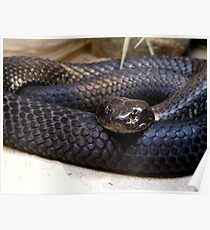 Tiger Snake - 'Chappell Island Form' Poster