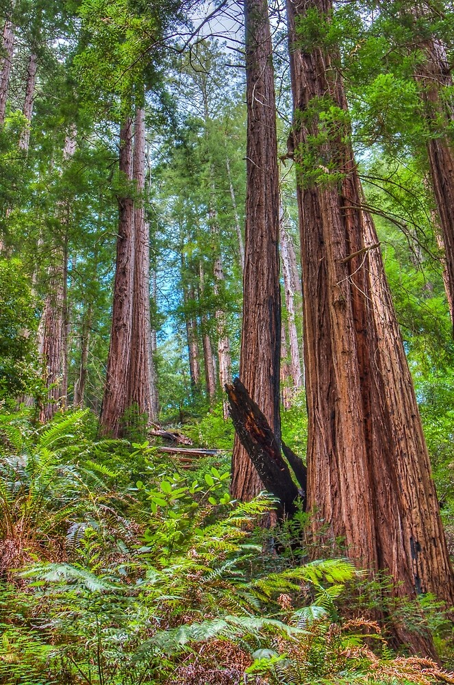 Scary tall Redwoods that stand high in their forest by pendleypictures