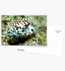 Cowrie Shell Postcards