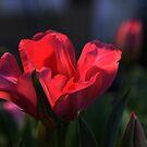 «Sueño de tulipán ...» de Poete100