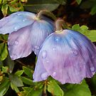 Blue Poppy Pair - Meconopsis by Babz Runcie