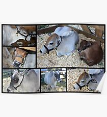 MIniature Zebu Cattle Collage Poster