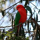 Male King Parrot by Vikki Shedden Photography