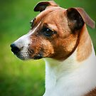 Alex the Jack Russel by Stacey Milliken