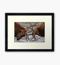 Bull Elk In The Rut Framed Print