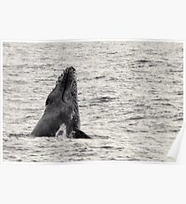 Whale Season - Moreton Bay 2010 Poster