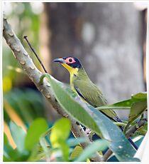 Australasian Figbird Poster