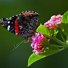 Red Admiral by Margaret Barry