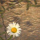 Floating Daisy by Zoe Marlowe
