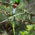 Resplendent Quetzal by Rob Lavoie