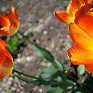 Poppy Two by BLAMB