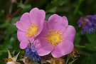 Prairie Rose by Mike Oxley