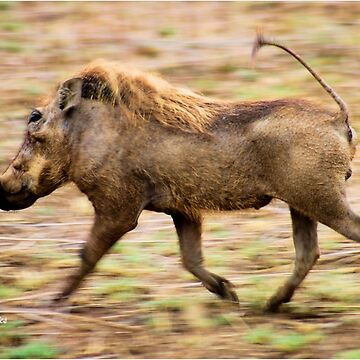 THE WARTHOG, Phacochoerus aethiopicus - The signal catcher ! by mags