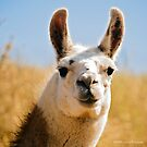 Kelso - Portrait of  Llama by Laura Palazzolo