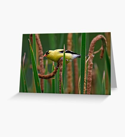 Goldfinch on Cattail - Ottawa, Ontario Greeting Card