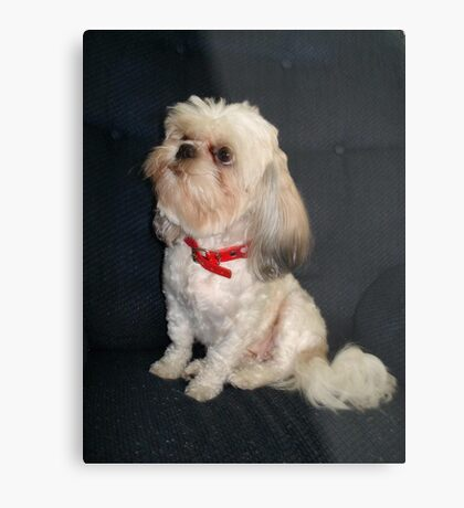 The Red Collar Metal Print