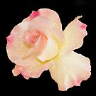 Pink Rose on plain black background by Vickie Burt