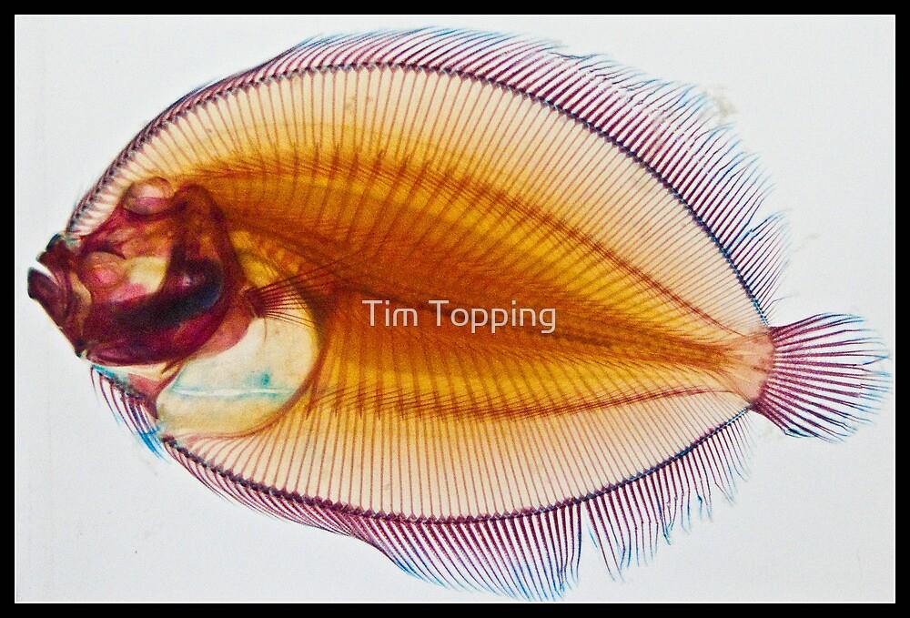 Galapagos Flounder by Tim Topping