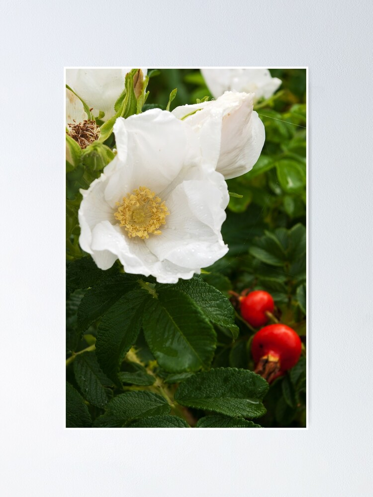 Alternate view of White Dune Rose - after the rain Poster