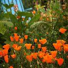 California Poppies In The Garden by Douglas E.  Welch