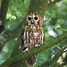 Tawny Owl by ChromaticTouch