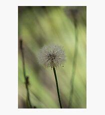 Dandelion Seed Head 3 Photographic Print