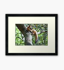 Fox lying in a Tree Framed Print