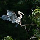 Great Blue Heron: A Ballerina in the Forest  by David Friederich