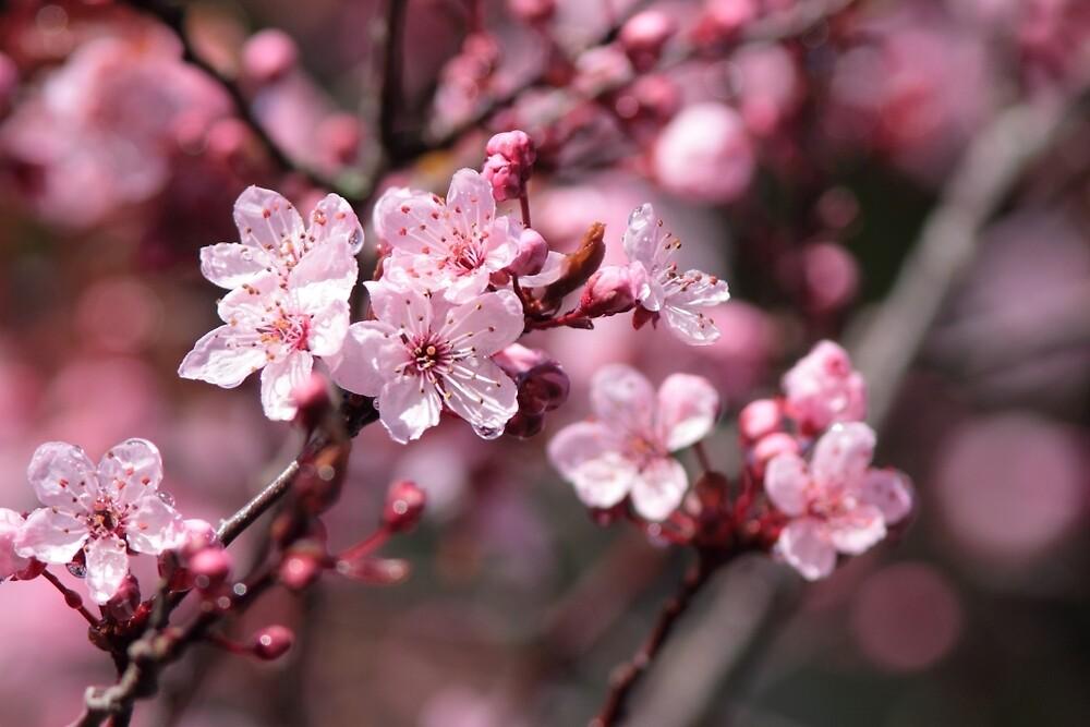 Cherry Blossoms by Jillian Jones