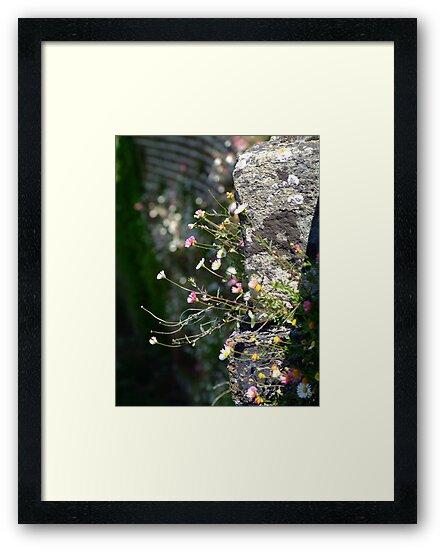 Wall Daisies  by Samantha Higgs