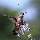 Bathing Kolibri by zzsuzsa