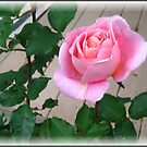 Pink Rose by Debbie Robbins