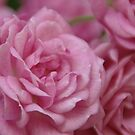 Pink Roses by marens