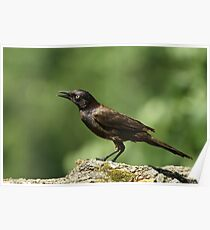 Commom Grackle Poster