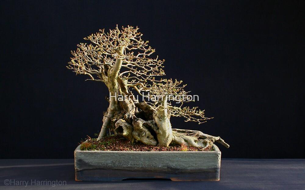 Privet (Ligustrum ovalfolium) Bonsai in Winter by Harry Harrington