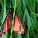 Cinnabar Moth: two by sarnia2