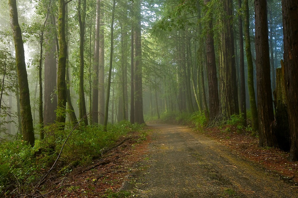 Big Basin Redwoods after a Storm by Zane Paxton