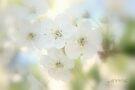 Cherry flowers by aMOONy