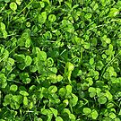 Clover and Grass by Amanda  Brushett