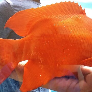 Orange Garibaldi Damselfish by lyoung403b