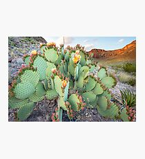 Close-Up Big Bend Cactus Flowers in Bloom  Photographic Print