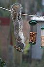Squirrel 1 - Just hanging around! by Peter Barrett