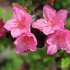 «Flor de azalea» de Melissa, Sue Ball