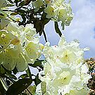 White Rhododendron by DIANE  FIFIELD
