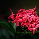 Red Ashoka Flowers by Charuhas  Images